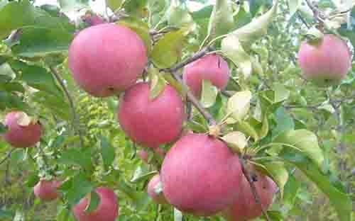 库存降低苹果期货再度大涨