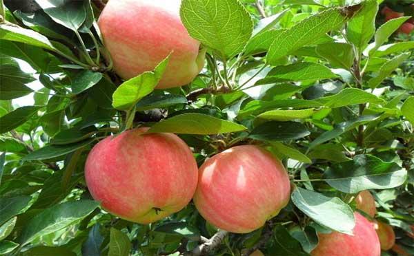 远期苹果上涨趋势或将减弱
