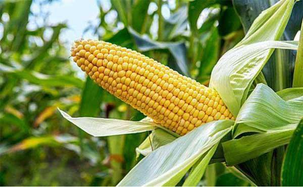 各方形势能否推动玉米价格继续走高?