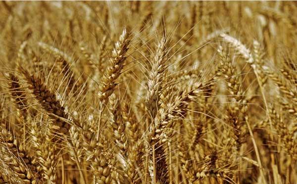 小麦期货加大开发力度赴新征程