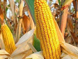 需求疲软,预计玉米价格上行动力不足