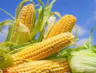 猪瘟是否影响玉米?玉米供需会降低吗?