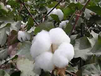 棉价上涨未来可期