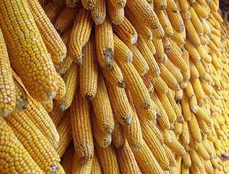 玉米期货保证金比例 3000块能否做一手玉米期货