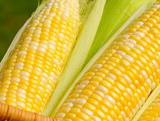 玉米期货走势欠佳 猪肉价格上涨