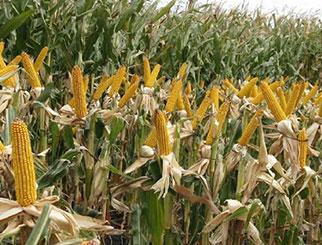 玉米期货手续费双边是多少 期货市场最便宜的玉米期货