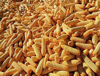需求好转 后期玉米期价或将走高