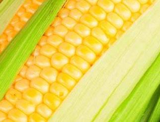 玉米期货行情 草地贪夜蛾对玉米价格有没有影响
