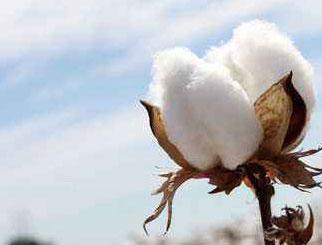 期货棉花实时行情 跌后企稳 棉花期货可能即将筑底